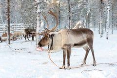 Ren im Winter, Lappland Finnland Stockfotos
