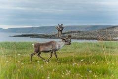 Ren lassen auf der Küste des Barentssees, Varanger-Halbinsel, Finnmark, Norwegen weiden Stockfotos