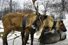 Ren med horn och en sele på huvudet fotografering för bildbyråer
