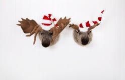 Ren mit zwei Plüschen mit Sankt-Hüten, die an einer hölzernen Wand für hängen Lizenzfreie Stockfotos