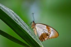 Ren och elegant fjäril arkivfoton