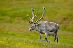 Ren Rangifertarandus, med massiva horn på kronhjort i det gröna gräset, Svalbard, Norge arkivbilder