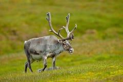 Ren Rangifertarandus, med massiva horn på kronhjort i det gröna gräset, Svalbard, Norge Royaltyfri Bild