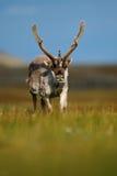 Ren Rangifertarandus, med massiva horn på kronhjort i det gröna gräset, blå himmel, Svalbard, Norge Royaltyfri Bild