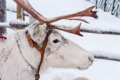 Ren in Rovaniemi, Finnland lizenzfreies stockbild