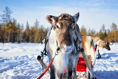 Ren-Schlitten im Winter-Schnee Forest Rovaniemi Finland Lapland lizenzfreies stockfoto
