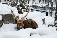 Ren sitzen auf Schnee Lizenzfreie Stockfotos