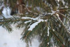 Ren snö på filialerna av granen royaltyfria bilder