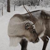 Ren som ut in g?r i de Lapland skogarna arkivfoto