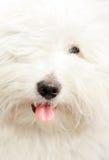 ren tul för ar coton de hund Royaltyfria Foton