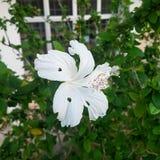 Ren vit blomma Royaltyfri Fotografi