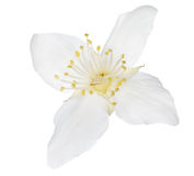 Ren vit singel isolerad jasmin Fotografering för Bildbyråer