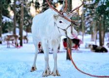 Ren-Winter Forest Rovaniemi Finland Lapland stockfoto