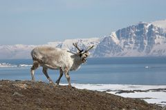 Rena ártica Imagem de Stock
