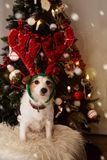 RENA DO CÃO DIADEMA PEQUENO PARA O NATAL, ÁRVORE CLARA DEFOCUSED DE JACK RUSSELL DO AJUDANTE DE SANTA DO NATAL COMO O FUNDO fotos de stock