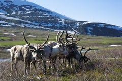 Rena e trenó do trenó na tundra Fotografia de Stock Royalty Free