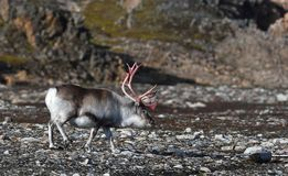 Rena em Svalbard/Spitsbergen imagem de stock