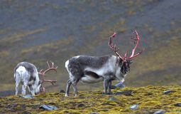 Rena em Svalbard/Spitsbergen imagens de stock royalty free