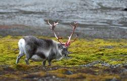 Rena em Svalbard/Spitsbergen foto de stock