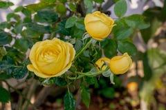 Rena gula rosor som blommar i trädgård royaltyfria bilder