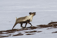 Rena masculina que corre na tundra Fotografia de Stock