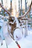 Rena na floresta do inverno em Rovaniemi Lapland Finlandia foto de stock royalty free