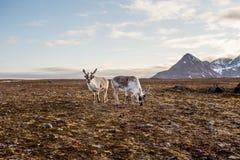 Rena na tundra Imagens de Stock