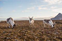 Rena na tundra fotografia de stock royalty free