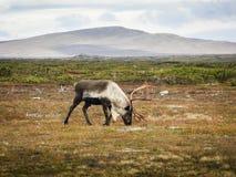 Rena no parque nacional de Dovrefjell, Noruega Foto de Stock