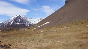 Rena nos eastfjords de Islândia Fotos de Stock Royalty Free