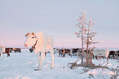 A rena nos pastores da rena de Nenets acampa Imagens de Stock Royalty Free