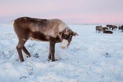 A rena nos pastores da rena de Nenets acampa Fotografia de Stock Royalty Free