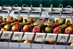 Rena och nya äpplen på transportbandet Arkivbilder