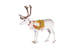 Rena ou caribu que vestem o chicote de fios tradicional fotografia de stock
