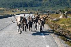 Rena que anda a estrada perto de Lom Norway 2016 imagem de stock royalty free