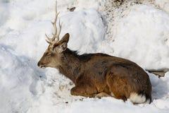 Rena que dorme na neve na estação do inverno Imagem de Stock Royalty Free