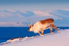Rena selvagem na neve, Svalbard, Noruega Cervos na montanha rochosa em Svalbard Cena dos animais selvagens da natureza Animal aci foto de stock royalty free