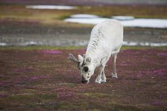 Rena selvagem nova na tundra ártica - Spitsbergen Fotografia de Stock