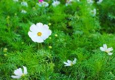 Rena vita kosmosblommor för natur med gula pollenmodeller som blommar bästa sikt i trädgården för bakgrund arkivfoton
