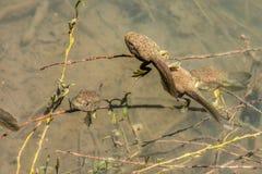 Renacuajos de la rana mugidora fotografía de archivo libre de regalías