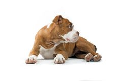 Renaissance Bulldog Royalty Free Stock Photography