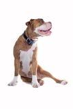Renaissance Bulldog stock photos