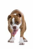 Renaissance Bulldog stock images