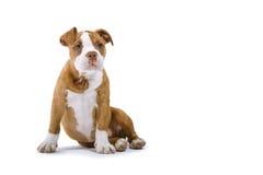 Renaissance-Bulldogge stockbilder