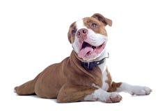 Renaissance-Bulldogge stockbild