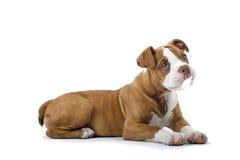 Renaissance-Bulldogge stockfotos