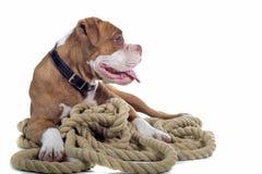 Renaissance-Bulldogge Stockfoto