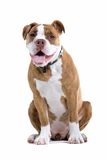 Renaissance-Bulldogge Stockfotografie
