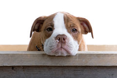 Renaissance-Bulldoggehund lizenzfreies stockfoto