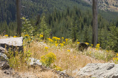Renaissance d'une forêt : Monument national de rue Helens de support Image libre de droits